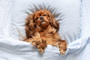 Why do dogs jump in their sleep?