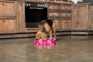 Can dogs have cottonseed oil?