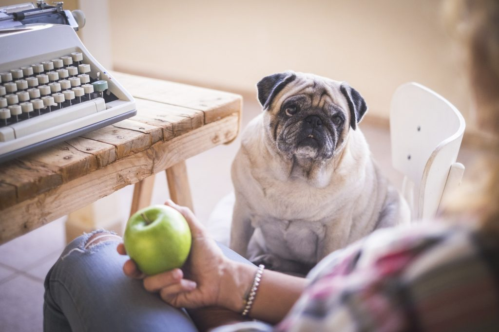 Old dog pug look her owner ready to eat a green apple after work
