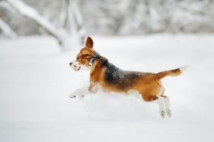 the dog runs in nature in winter.Beagle walks in the snow in flight